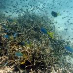 ST: Øll koralrivini á heimsarvalistanum eru deyð í ár 2100