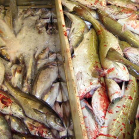 Søkjast kann um fiskiloyvi at fiska írestandi kvotu av toski og brosmu í Eysturgrønlandi