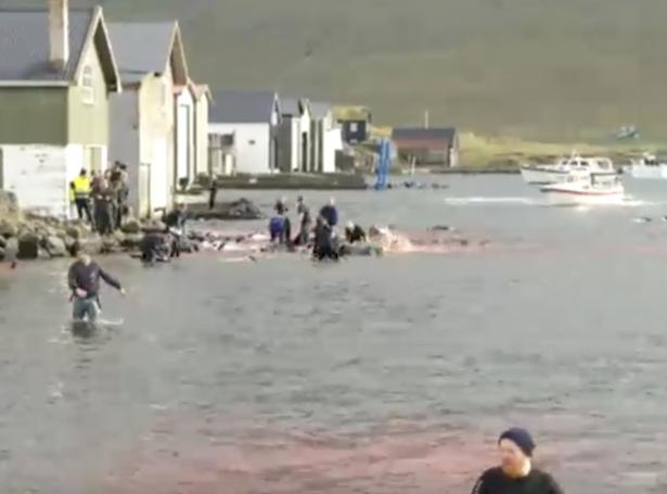 210 springarar vórðu dripnir í Hvalvík (Mynd: Dagur & vika / Kringvarpið)
