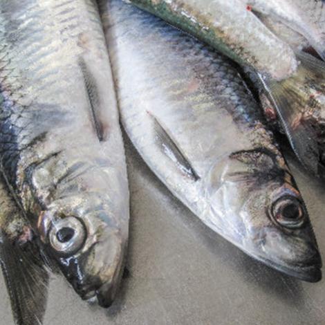 Samráðingarnar um makrel, svartkjaft og norðhavssild niðurlagdar