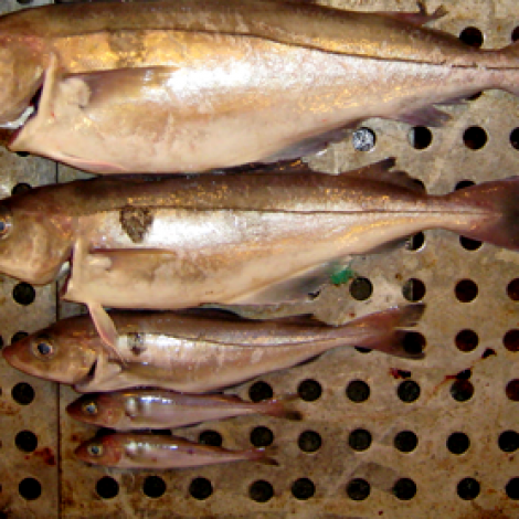 Hagstovan: Nøgdin av botnfiski er vaksandi