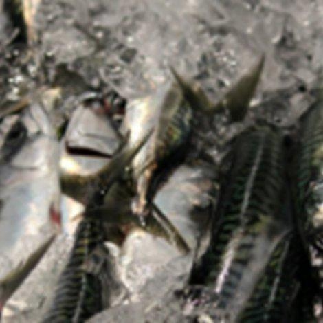 Fiskimálaráðið játtað 10 umsøkjarum tilsamans 2.815 tons av makreli