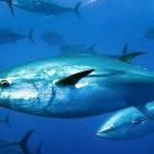 Stórur tunfiskur endaði í alinót hjá Bakkafrost